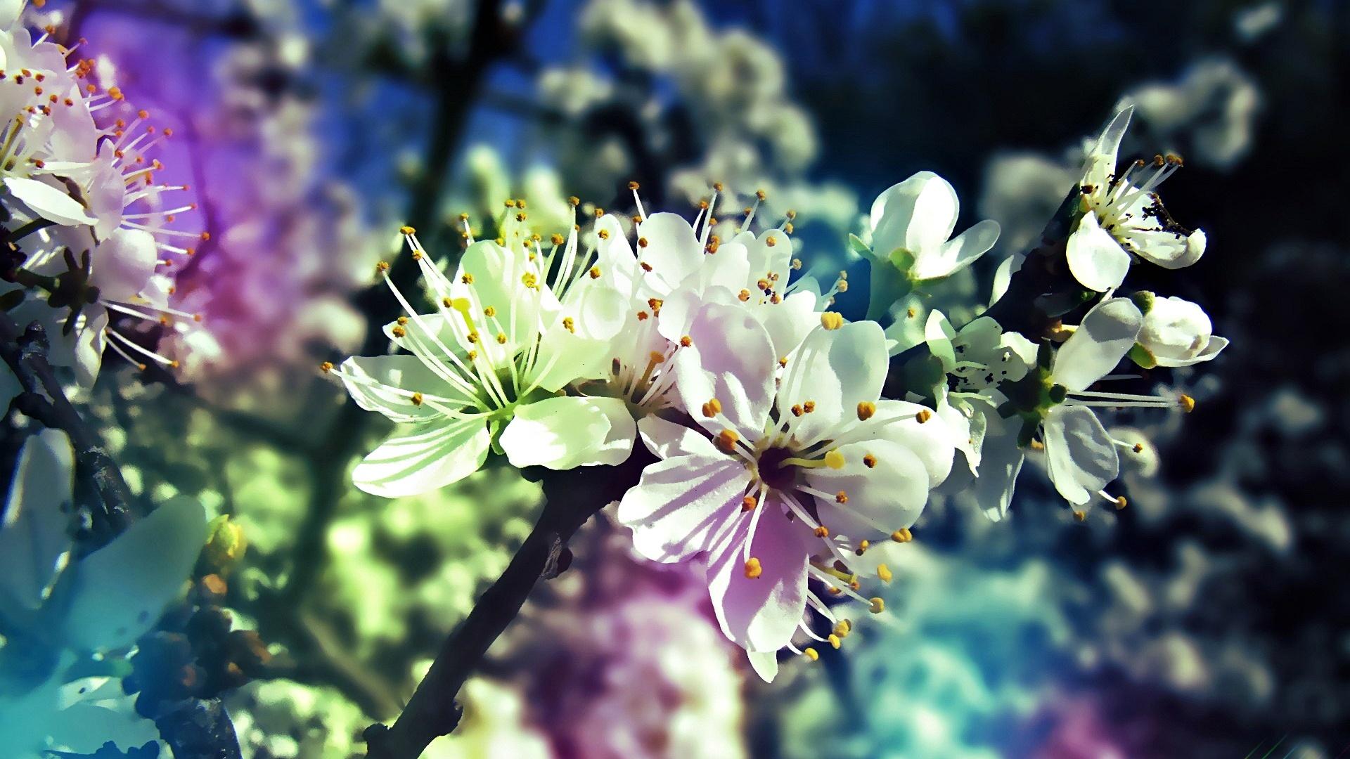 fiori_di_ciliegio_HD